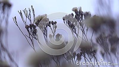 Замороженные цветки под снегом в заводах зимы сухих с концом гололеди вверх сток-видео