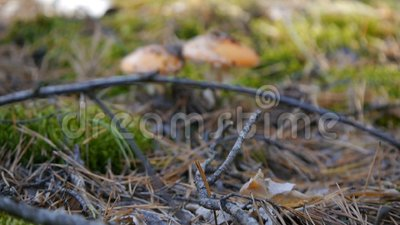 Мухомор 2 в грибе леса Камера сигналит внутри на конце-вверх осенняя пуща видеоматериал