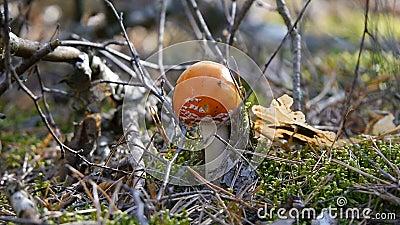 Мухомор в грибе леса Камера сигналит внутри на конце-вверх осенняя пуща акции видеоматериалы