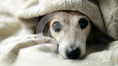 Прелестное грустное расслабленное сонное aunder глаз собаки одеяло Napping на уютной кровати Забота остатков любимца удобная Виде сток-видео