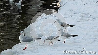 Чайки на пруде сток-видео