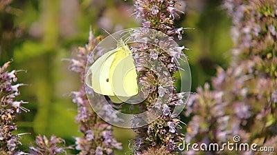 Żółty motyl zdjęcie wideo
