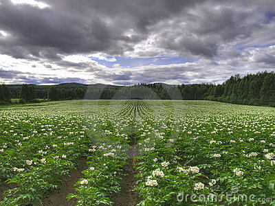 Ökologisches Kartoffelfeld