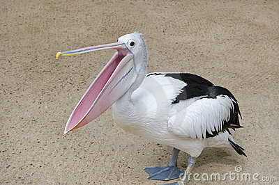 öppen pelikan för näbb