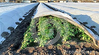 Öppnande av en plantering av potatisbuskar under ett sprittäcke Odling av grödor i tidig vår genom att täcka späckbindning och pl stock video