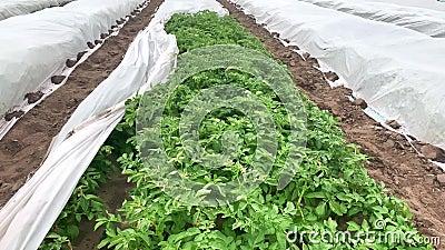 Öppnande av en plantering av potatisbuskar under ett sprittäcke Växthuseffekten, skydd mot dåligt väder stock video