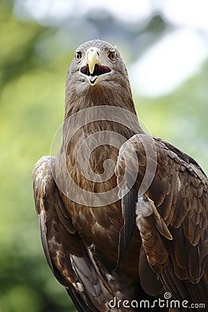 Örnen beklär beskådar