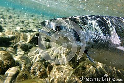 łosoś pod wodą