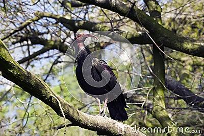 łysy ibis