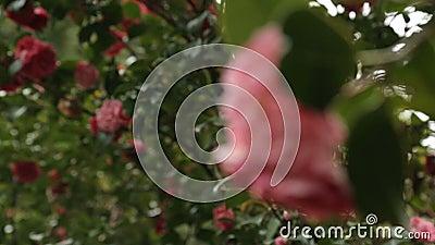 Śliczna menchia kwitnie kwitnienie na drzewach daje świetnie fragrant aromatowi, ogród botaniczny zbiory
