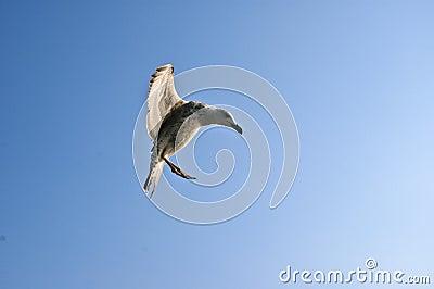 śmieszny seagull