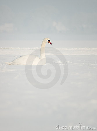 śnieżny łabędź