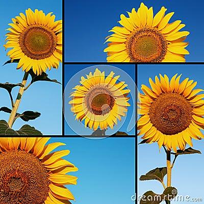 农业拼贴画组成由向日葵