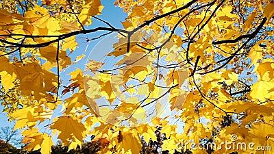 Żółci jesień liście w słońcu, horyzontalny ruch kamery zwolnione tempo zbiory wideo