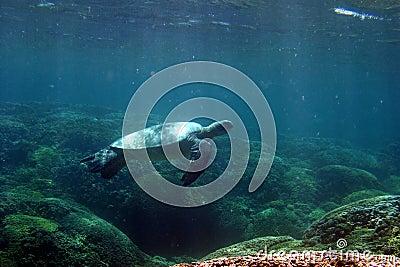 żółw pływania