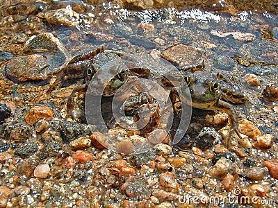 żaby bliźniacze