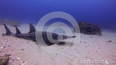 Żarłacz białopłetwy i żarłacz lamparty Rekin szwajcarski Promień Szowianowy Na Morzu Błękitnym zbiory wideo