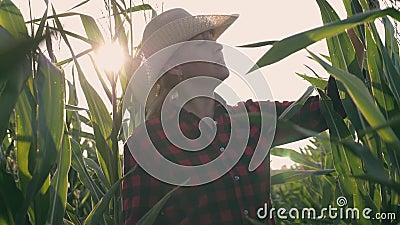 Żeński rolnik w polu uprawnym Żniwo Rolnicza praca na polu uprawnym zbiory