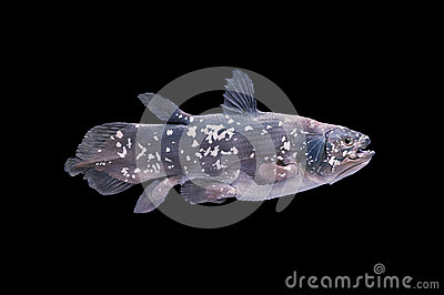 Żywa skamieliny ryba, Coelacanth.