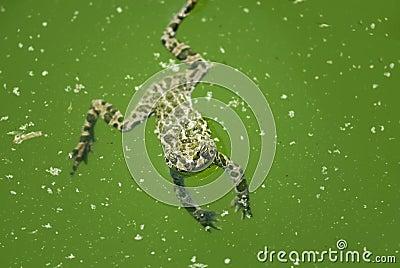青蛙游泳 库存图片 - 图片