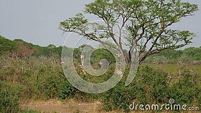 Άγρια αφρικανικά giraffes κρύβουν και βόσκουν στα αλσύλλια των αγκαθιών μεταξύ των δέντρων ακακιών απόθεμα βίντεο