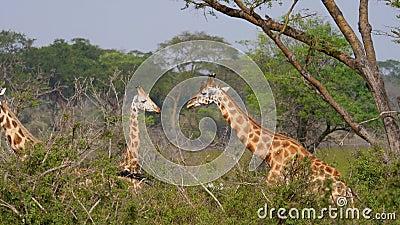 Άγρια αφρικανικά giraffes στα αλσύλλια των Μπους και των ζουγκλών ακακιών απόθεμα βίντεο