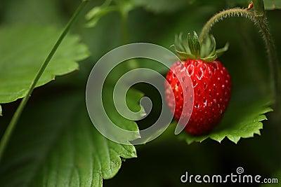 άγρια περιοχές φραουλών