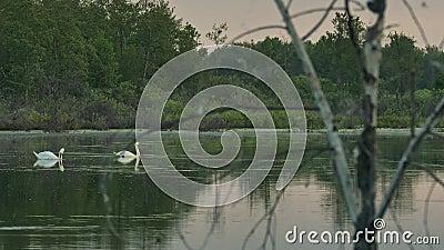 Άγριοι κύκνοι ρολογιών σε μια δασική λίμνη μέσω των κλάδων ενός ξηρού δέντρου απόθεμα βίντεο