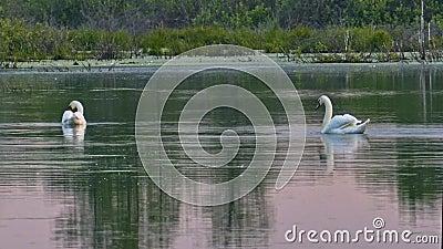 Άγριοι κύκνοι σε μια ήρεμη επιφάνεια νερού φιλμ μικρού μήκους