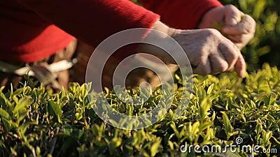 Άνθρωποι που συγκομίζουν τα φύλλα τσαγιού στην ηλιόλουστη φυτεία, απασχόληση στο εξωτερικό, επιχείρηση απόθεμα βίντεο