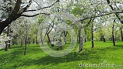 Άσπρα ανθίζοντας δέντρα της Apple την άνοιξη στα μειωμένα πέταλα κήπων αργά απόθεμα βίντεο