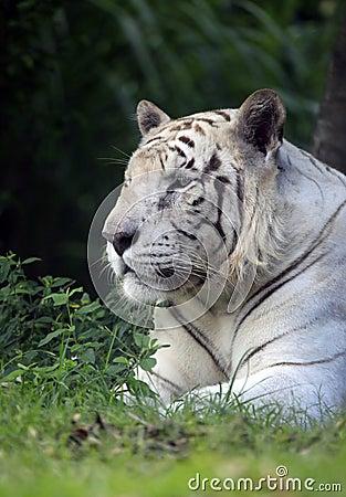 Άσπρη τίγρη