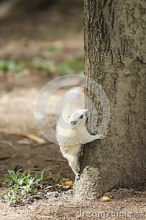 Άσπρος σκίουρος