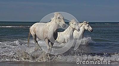 Άλογο Camargue που καλπάζει στη θάλασσα, Saintes Marie de Λα Mer σε Camargue, στο νότο της Γαλλίας απόθεμα βίντεο