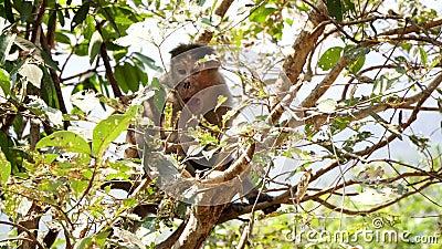 Ένας γέρος αρσενικός πίθηκος κάθεται σε ένα κλαδί δέντρου Η γριά μαϊμού στη ζούγκλα φιλμ μικρού μήκους