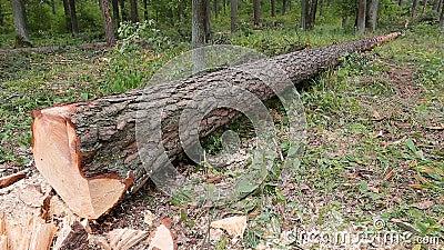 Ένας μεγάλος πεσμένος το δέντρο βρίσκεται στο θερινό δάσος απόθεμα βίντεο