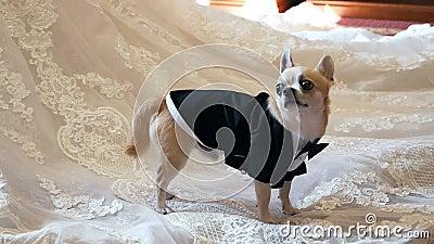 Ένας σκύλος νάνος στέκεται πάνω σε ένα νυφικό, ντυμένος με σμόκιν, γυρίζοντας Γάμος, σκύλος, σμόκιν απόθεμα βίντεο