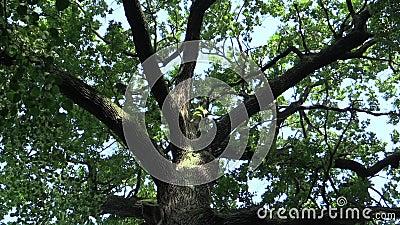 Ένα αξιοσημείωτο δέντρο που ονομάζεται το δρύινο βασιλιά, Quercus robur θερινή βαλανιδιά, 500 χρονών, ένας μύθος λέει ότι ο τσεχι απόθεμα βίντεο