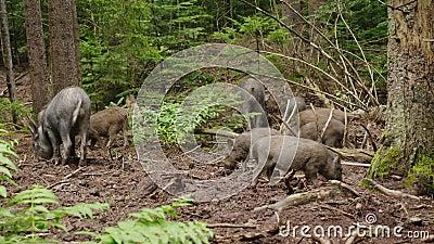 Ένα κοπάδι των άγριων κάπρων βόσκει στη δασική άγρια ζωή του δάσους φιλμ μικρού μήκους