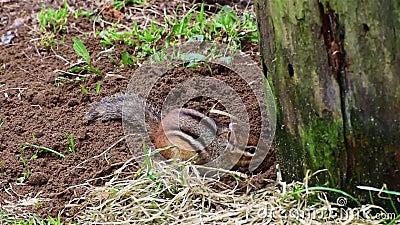 Ένα chipmunk εμφανίζεται, σκάβει, και νεόνυμφοι φιλμ μικρού μήκους