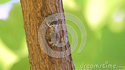 Έντομο Cicadidae Cicada τραγουδιού Cicadidae στον κορμό δέντρων Χλωρίδα της Ευρώπης Μικρά cicadidae Μακρο στενός επάνω r απόθεμα βίντεο