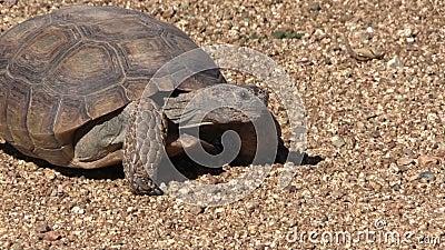 Έρημος Tortoise φιλμ μικρού μήκους
