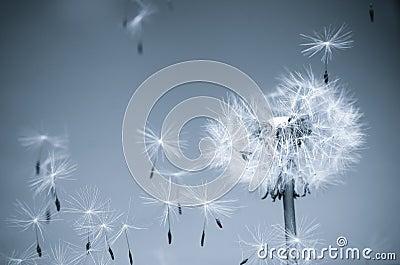 αέρας πικραλίδων