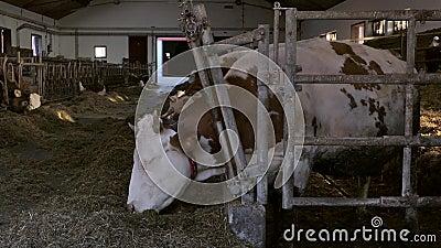 Αγελάδες σε αχυρώνα γεωργικής εκμετάλλευσης στη Γερμανία απόθεμα βίντεο