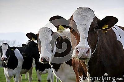 αγελάδες τρία