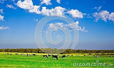αγελάδες