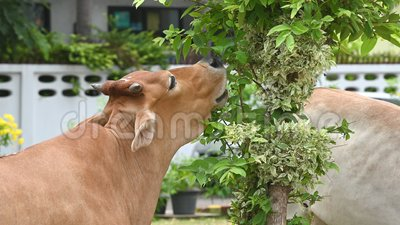 Αγελαδινό βόειο κρέας που τρώει φύλλα από δενδρύλλιο σε τροπική αγροτική φάρμα βοοειδών Κτηνοτροφία Ζώα και θηλαστικά φιλμ μικρού μήκους