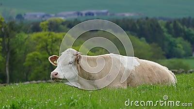 Αγελάδα που τρώει 4K απόθεμα βίντεο