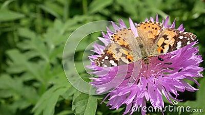 Αγώνας για έδαφος, έννοια πεταλούδα προκαλεί έντομο από λουλούδι πεταλούδα σε λουλούδι καφέ σε φυσικό ενδιαίτημα φιλμ μικρού μήκους