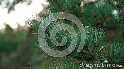 Αειθαλής έλξη ή πεύκο µε βελόνες που κλείνουν Φύση, δάσος απόθεμα βίντεο